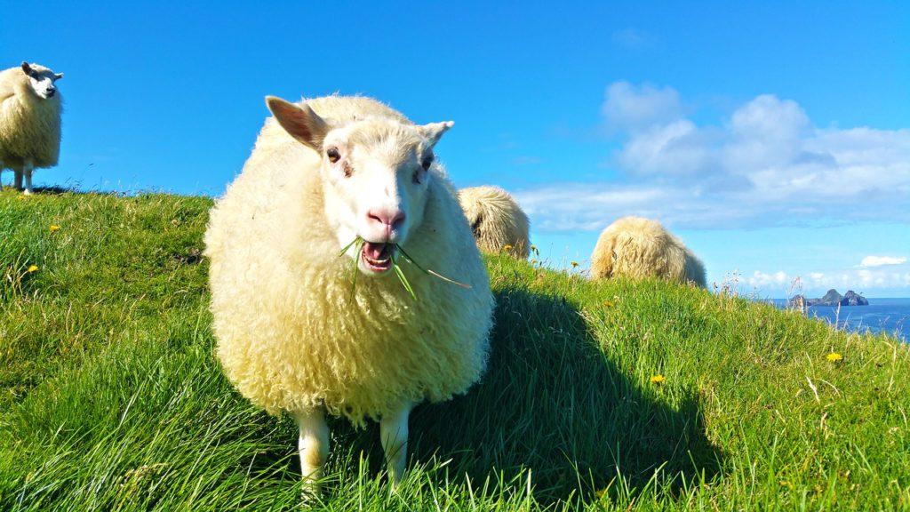 sheep-1798950_1280